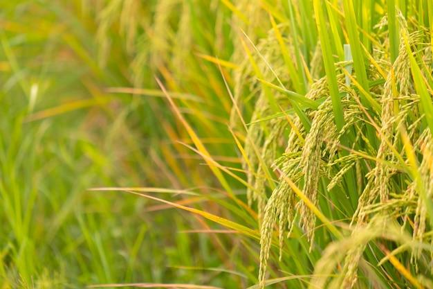 Riso nel test di conversione sul campo nel nord della thailandia, colore giallo riso e copia spazio. orecchio di riso dorato nell'agricoltura e nella fattoria di riso asiatico biologico