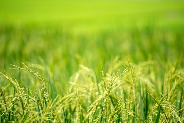 Azienda agricola verde del vietnam della risaia asiatica dell'ecosistema verde di agricoltura del giacimento di riso. raccolga l'agricoltura che pianta i terrazzi verdi dorati del riso di coltivazione in azienda agricola organica con l'alba naturale tropicale. Foto Premium