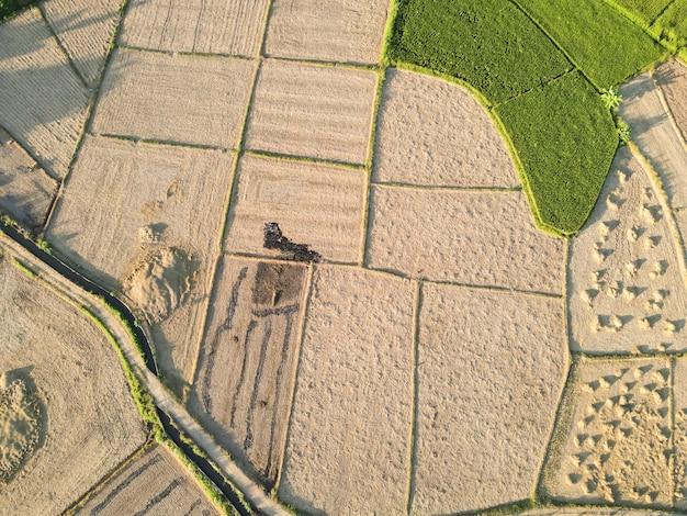 Le risaie vengono raccolte
