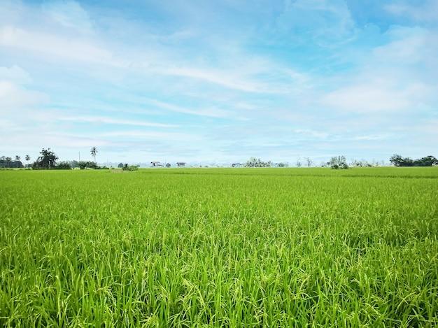 I campi di riso e l'immagine del paesaggio del cielo blu per il contenuto alimentare.