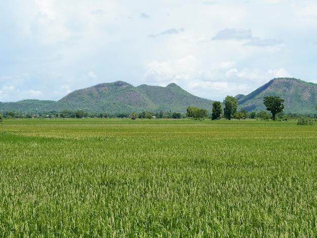Campi di riso vicino al raccolto