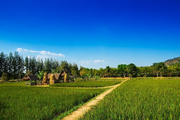 Campi di riso in tailandia rurale