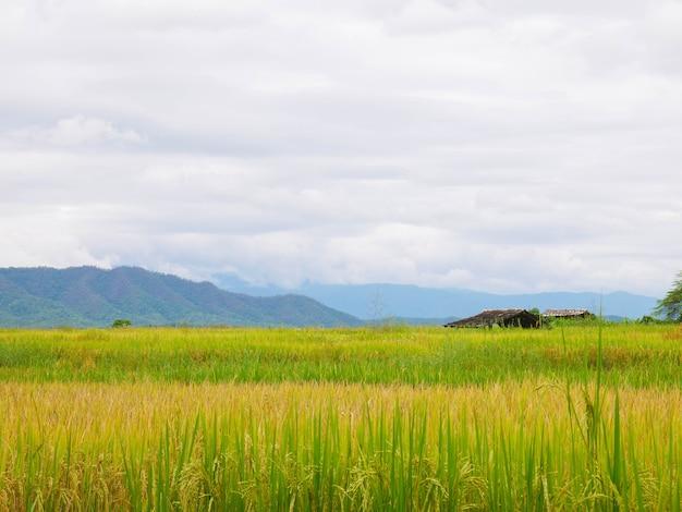 Campi di riso e cielo con la montagna