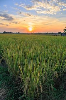 Campi di riso e vista del cielo al tramonto