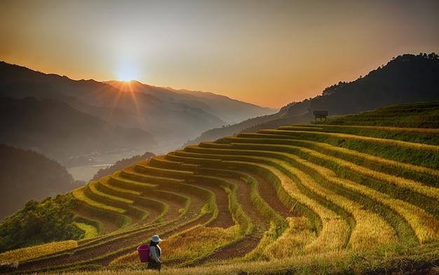 Risaie sulla terrazza del villaggio di cang chai, vietnam. le risaie gialle dorate si preparano a raccogliere in vietnam. paesaggio del vietnam