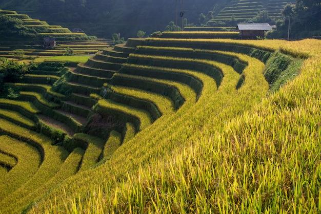 Campi di riso sulla terrazza nella stagione delle piogge a mu cang chai, yen bai, vietnam