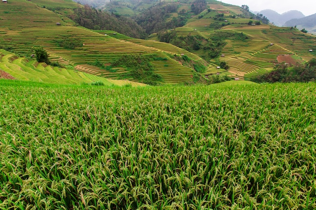 Campi di riso sulla terrazza nella stagione delle piogge a mu cang chai, yen bai Foto Premium