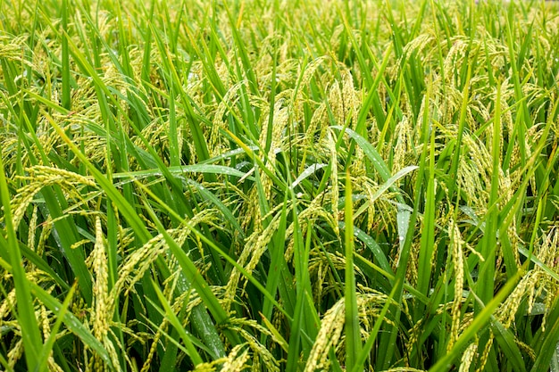 Campi di riso a terrazze di thailandia, vietnam o bali