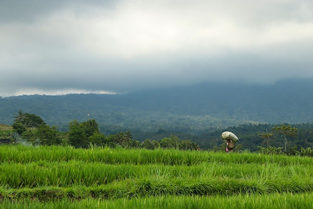 Raccolta del riso nelle risaie nell'isola di bali, indonesia, jatiluwih verde terrazze di riso patrimonio unesco, concetto di viaggio