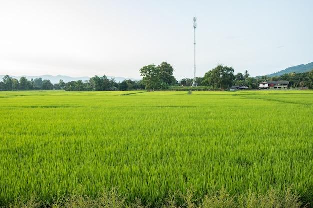 Il riso è crescita nelle risaie. le piantine di riso sono di colore verde chiaro. fattoria di riso in campagna.