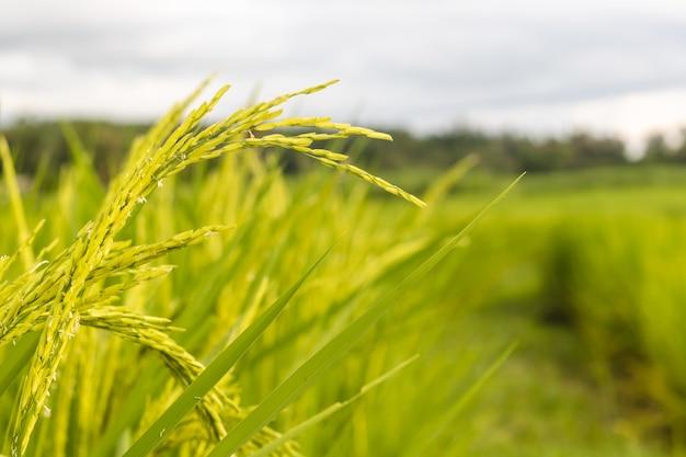 Semi di riso maturi e foglie verdi in campo di riso. crescita e rendimento delle piante di riso in estate.