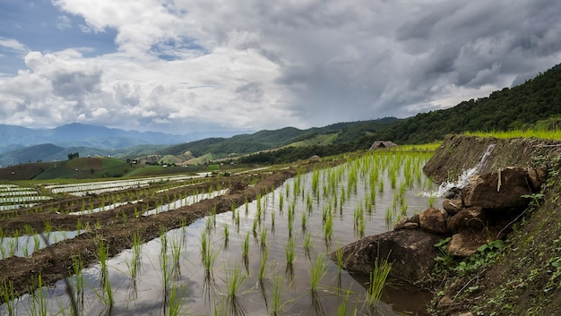 Piantina di riso sui campi di riso terrazza a chiang mai, thailandia.