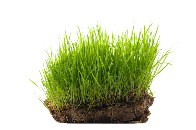 Piantine di riso su un pezzo di terreno. isolato su sfondo bianco