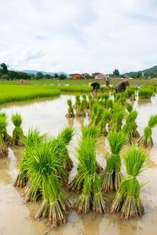 Piantine di riso nel campo di riso risaia del bambino preparati per l'agricoltura piantine di trapianto.