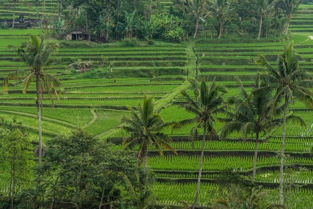 Terrazze di riso a tegallalang, ubud, bali, indonesia.