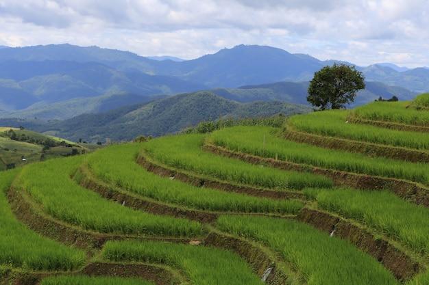 Terrazze di riso in thailandia ban pa bong biang, mae chaem, chiang mai, verde fresco