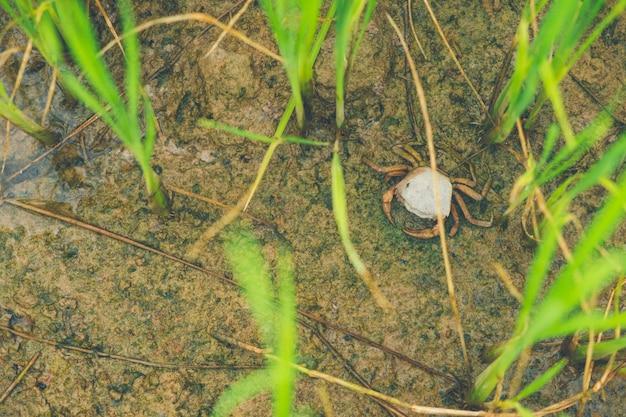Granchio di ricefield (granchio d'acqua dolce) nell'azienda agricola del riso di verde della tailandia del giacimento del riso e agricoltore asiatico i