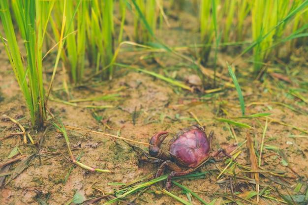 Granchio di ricefield (granchio d'acqua dolce) nell'azienda agricola del riso di verde della tailandia del giacimento del riso e coltivatore asiatico