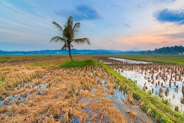 Campo di riso