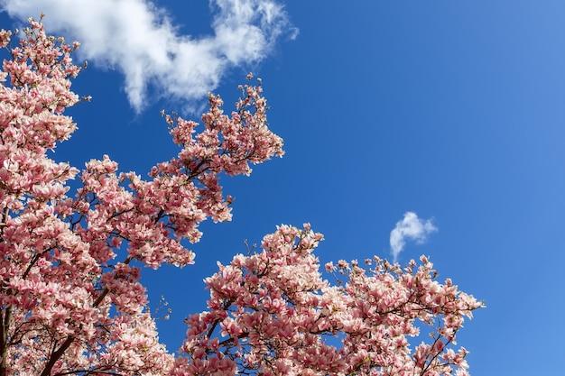 Ricca magnolia in fiore sullo sfondo di un luminoso cielo primaverile