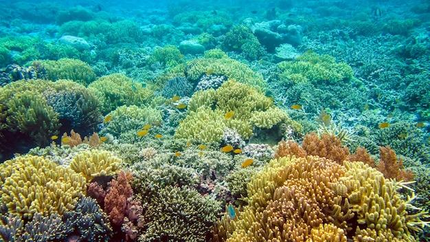 Il bordo riff coperto da bellissimi coralli su kri, raja ampat, indonesia.