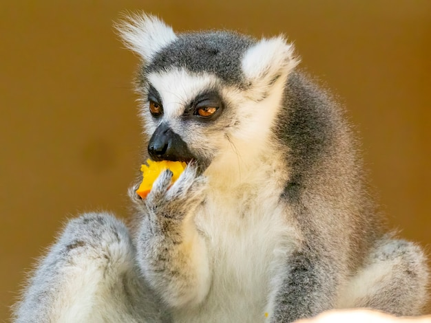 Lemure coda ad anello