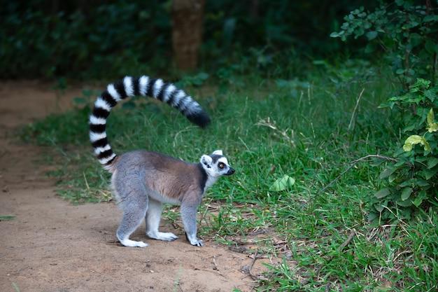 Il lemure dalla coda ad anelli nel suo ambiente naturale