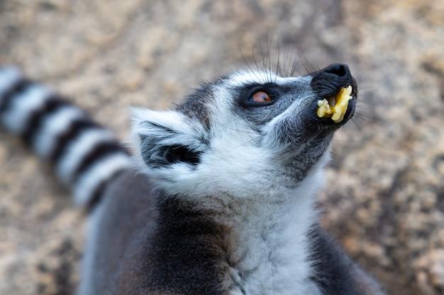 Il lemure dalla coda ad anelli su una grande roccia di pietra mangia una banana