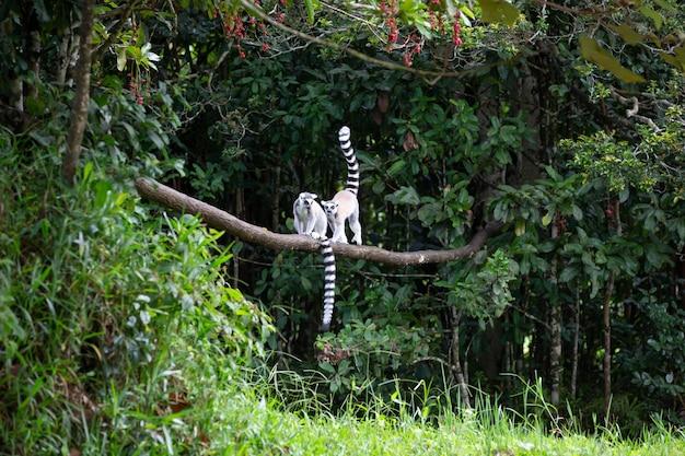 Un lemure dalla coda ad anelli nella foresta pluviale su un ramo