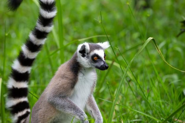 Un lemure dalla coda ad anelli nella foresta pluviale sull'isola del madagascar