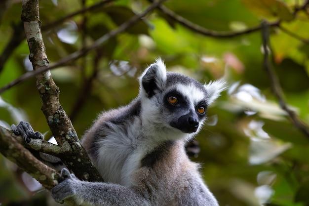 Il lemure dalla coda ad anelli nella foresta pluviale, il suo ambiente naturale