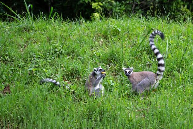Il lemure dalla coda ad anelli nella foresta pluviale