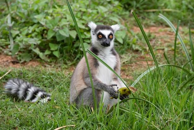 Il lemure dalla coda ad anelli, o lemure dalla coda ad anelli, o katta, è la specie più famosa della famiglia dei lemuri. il nome del madagascar per il lemure dalla coda ad anelli è papavero. madagascar, africa