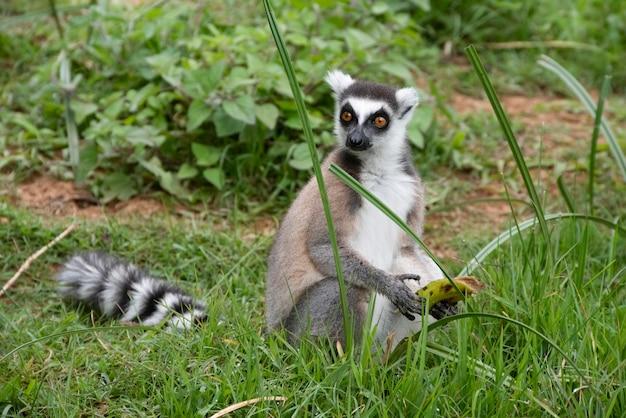 Il lemure dalla coda ad anelli, o lemure dalla coda ad anelli, o katta, è la specie più famosa della famiglia dei lemuri.