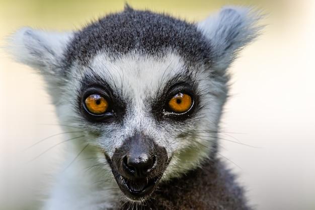 Lemure dalla coda ad anelli close up ritratto