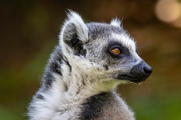 Ritratto di lemure dalla coda ad anelli