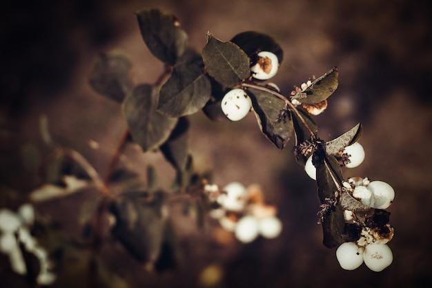 Bacche mature in autunno su uno sfondo scuro.