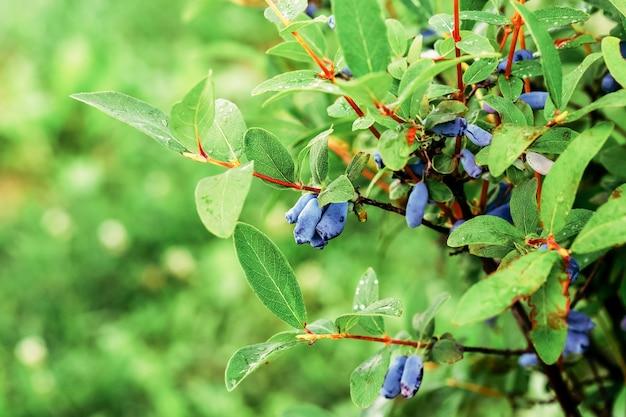 Bacche di caprifoglio blu mature che crescono sul ramo verde, foglie con gocce d'acqua dopo la pioggia