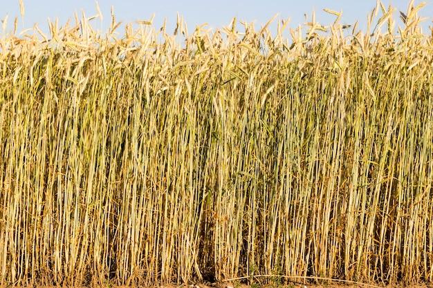 Cereali secchi maturi che maturano