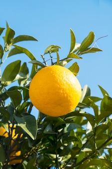 Arance mature e fresche che appendono sul ramo