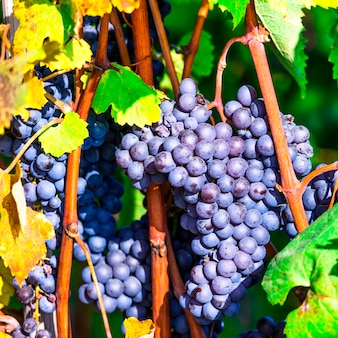 Fine dell'uva matura in su. vendemmia autunnale. piantagione del piemonte, italia