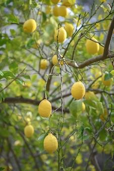 Frutti di limone maturi appesi ai rami dell'albero di limone nel frutteto, fuoco selettivo