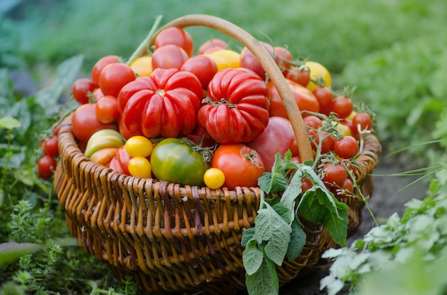 Pomodori maturi del giardino biologico pronti per la raccolta in campo in una giornata di sole. raccolta di pomodori biologici freschi in giardino.