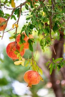 Frutto maturo del melograno sul ramo di un albero
