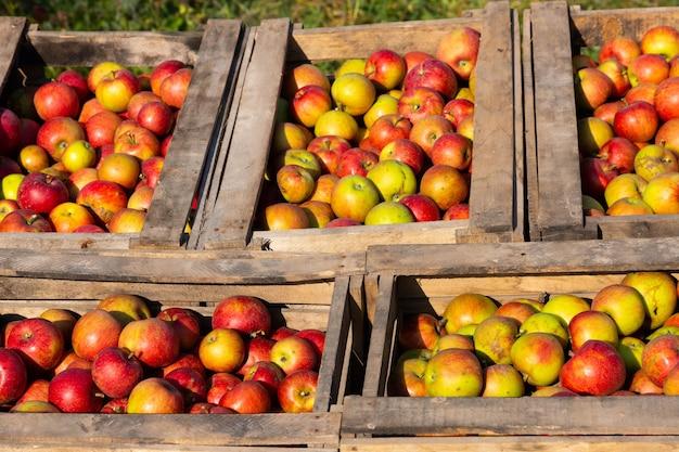 Mele rosse mature in grandi scatole di legno durante la giornata di raccolta della frutta.
