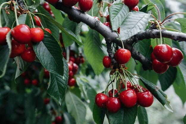 Ciliegie rosse mature sui rami di un albero