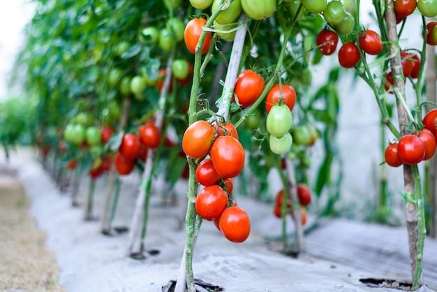 Pomodorini rossi maturi nell'azienda agricola della serra