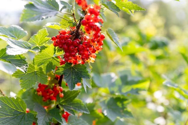 Ribes rosso maturo appeso al cespuglio quasi pronto per il raccolto. ramo di bacche organiche fresche che crescono illuminate dalla luce del sole