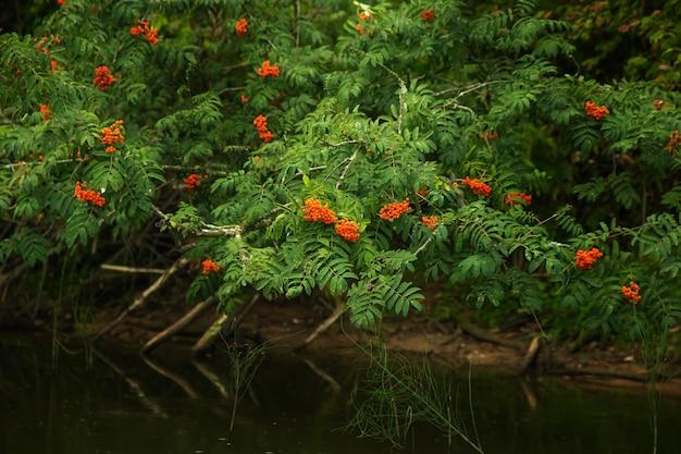Cenere di montagna rossa matura appesa sopra il fiume, paesaggio forestale estivo.