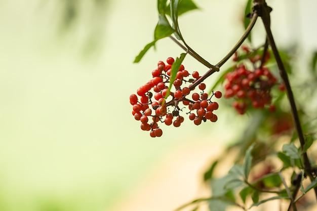 Primo piano rosso-arancio maturo delle bacche di sorbo che cresce in grappoli sui rami di un albero di sorbo su fondo verde vago
